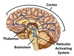 Thalamus Part Of The Brain Disorders Of Consciousness Brain Death Coma And The Vegetative