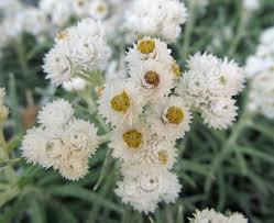 drought tolerant plants pearly everlasting u2013 awkward botany