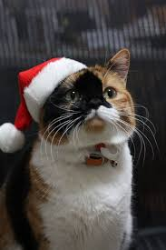 261 best christmas cats u0026 kittens images on pinterest christmas