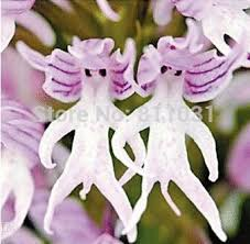 monkey orchids plants orchids italica seeds 50pcs pyramid