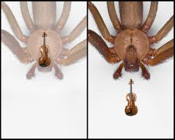 Brown Recluse Map Brown Recluse Spider Album On Imgur