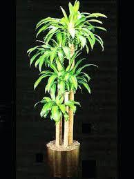 best low light indoor trees indoor tree plants low light indoor plants gallery the potted plant