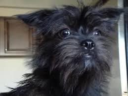 affenpinscher terrier mix lost dogs in muskego wi lost my doggie
