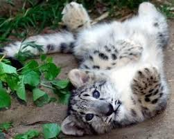 the 25 best snow leopard tattoo ideas on pinterest snow leopard