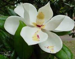magnolia flower meaning dictionary auntyflo com