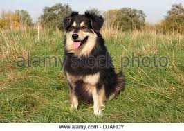 kelpie x australian shepherd australian shepherd mixed breed dog stock photos u0026 australian