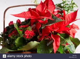 Christmas Plants Still Life Of Red Christmas Plants In Basket Poinsettia Flaming