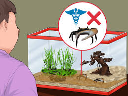 how to take care of fiddler crabs 11 steps with pictures
