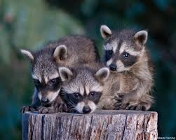 How To Get Rid Of Raccoons In Backyard How To Keep Wild Raccoons Wild The National Wildlife Federation Blog