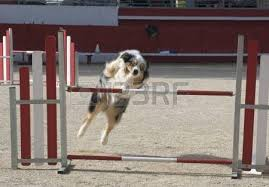 australian shepherd agility australian shepherd stock photos u0026 pictures royalty free