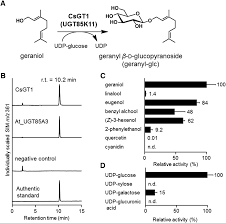 volatile glycosylation in tea plants sequential glycosylations