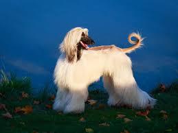 afghan hound kennel in australia afghan hound dogs breed information omlet
