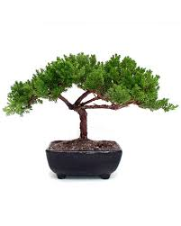 small juniper bonsai indoor office plants by plant type