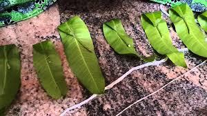 Ugadi Decorations At Home Mango Leaves Toranam Making For Festivals Youtube