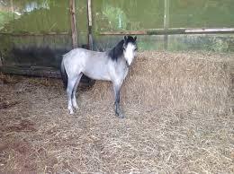Suche Zu Kaufen Welsh A Ponys Hengste U0026 Stuten Kaufen Bei Deinetierwelt