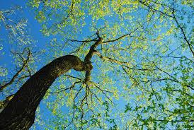 tree fredericksburg helping to restore fredericksburg u0027s urban forest