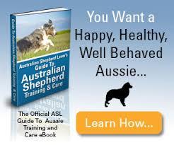 training a australian shepherd the aussie weekly zzz