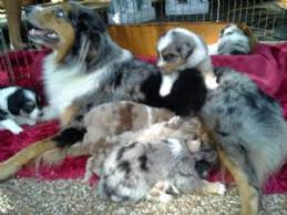 australian shepherd dog for sale australian shepherds puppies for sale small standard mini