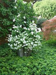 57 best gardening with white flowers images on pinterest white