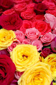 colored roses multi colored roses stock photo image of bloom blossom 88402852