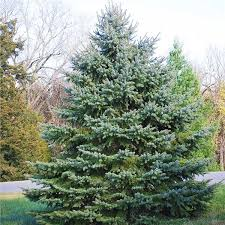 buy affordable colorado blue spruce trees at our nursery
