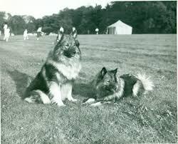 american eskimo dog vs keeshond keeshond history u0026 training temperament