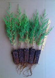 eastern cedar tree for sale juniperus virginiana