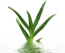 aloe vera plant facts useful facts on how to grow aloe vera check my garden