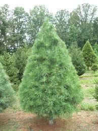 white pine trees trees bluebird christmas tree farm