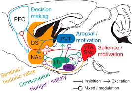 Part Of Brain That Controls Arousal Homeostasis Meets Motivation In The Battle To Control Food Intake