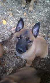 belgian shepherd malinois breeders the 281 best images about belgian malinois on pinterest