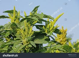 amaranth cultivated leaf vegetables cereals ornamental stock photo