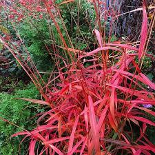 ornamental grasses bay state perennial farm
