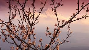 mountain behind a cherry blossom wallpaper other wallpaper better