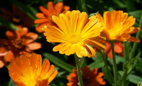 yellow daisy wallpapers flower lovely nature flowers beautiful bright daisy yellow flower