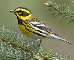 townsend u0027s warbler audubon field guide