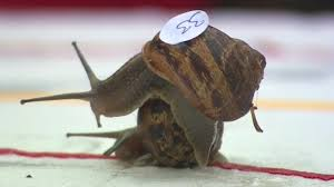 watch snails race for slimy glory in the world snail racing