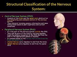 Exercise 17 Gross Anatomy Of The Brain And Cranial Nerves The Nervous System Slide Show