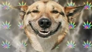 Stoned Dog Meme - medical marijuana legalization in colorado has led to significant