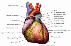 Dog Anatomy Heart Dog Respiratory System Diagram Human Anatomy Body