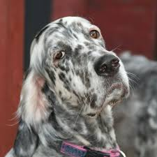 types of setter dog breeds english setter dog breed information pictures characteristics