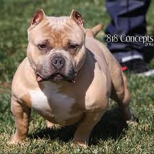 american pitbull terrier puppies louisiana pitbull puppies for sale blue pitbulls puppies los angeles