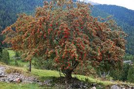 rowan tree symbolism and spiritual significance thrive on news