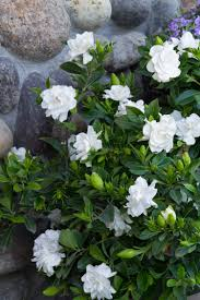 picture of gardenia flower white foam decorative artificial
