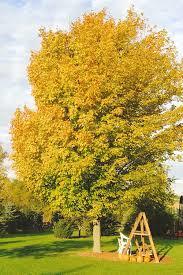 outdoor sugar maple shade tree shade trees for the backyards