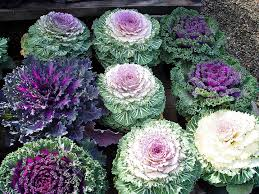 fall and winter garden flowering kale pretty and delicious