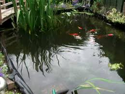 fish pond koi gold fish tench rudd
