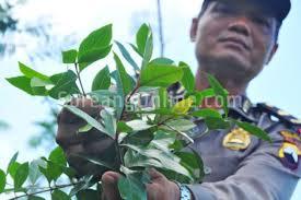 Teh Arab direktorat narkotika polda jabar temukan 20 ribu batang teh arab di