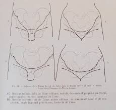 Male And Female Anatomy Male And Female Bowl Of Pelvis Crotch In Relation To Ischium