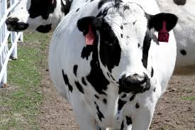are these genetically engineered cows the future of medicine